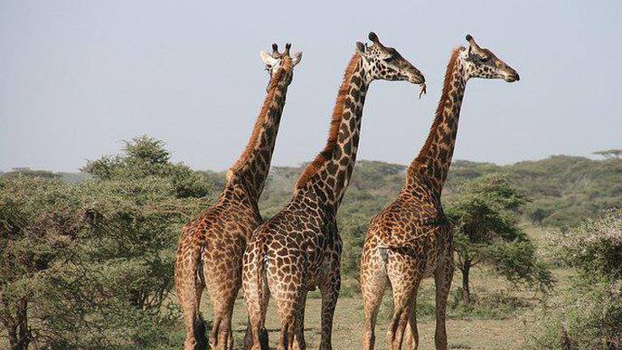 Giraffes' Weirdest Feature Could Unlock New Treatments for Heart Disease