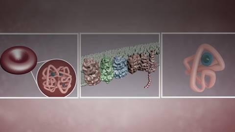 Mechanismen bei Herzinsuffizienz: Die Auswirkungen von Eisenmangel
