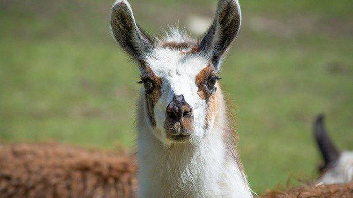 Neuroscientists Isolate Promising Mini Antibodies Against COVID-19 from a Llama